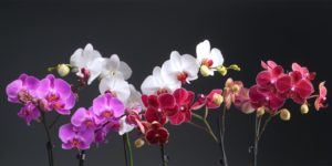 3-orchids-ss