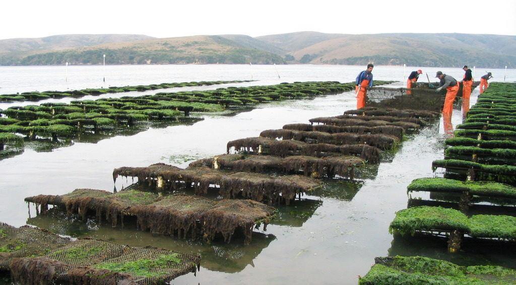 hog-island-oyster-leases-photo-courtesy-hog-island-oyster-co-e1410304559847-1024x566