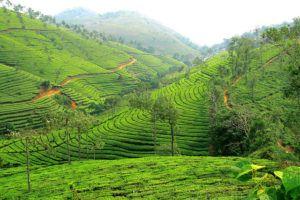image-1-tea-plantation