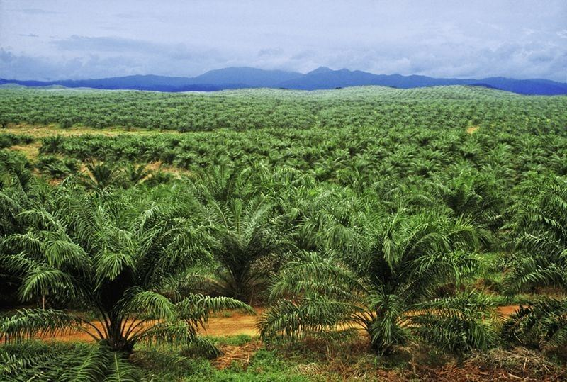 palmoil-picture-2