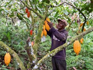 evaluating-cocoa-agroforestry-systems-to-design-new-cropping-systems_lightbox