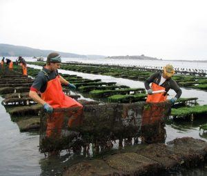 Keeping the oysters in a controlled environment becomes increasingly difficult as they grow