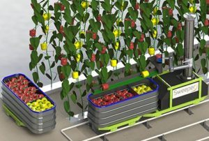 Robots harvesting bell peppers