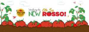New and sweeter tomato varieties from Sunripe